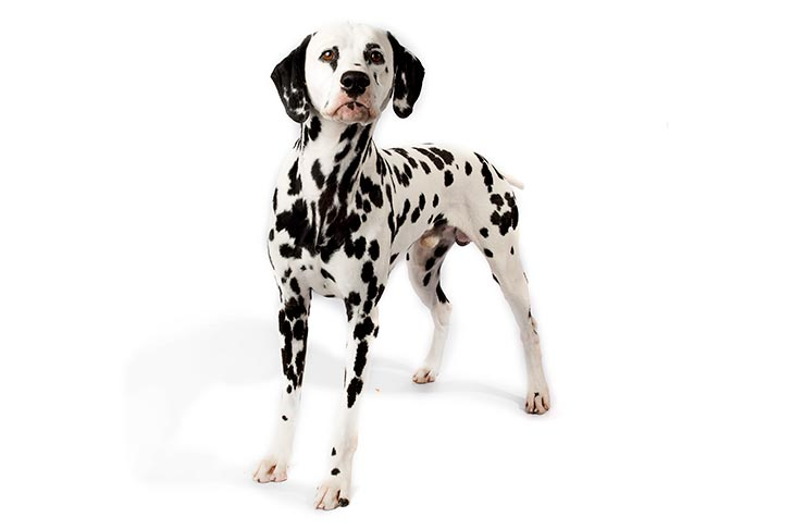 dalmation shorthaired dogs