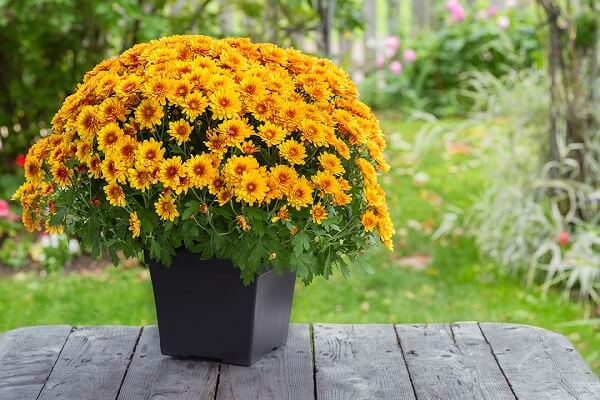 Chrysanthemum natural air purifier
