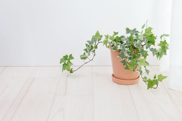 English Ivy Plant removes pollutants