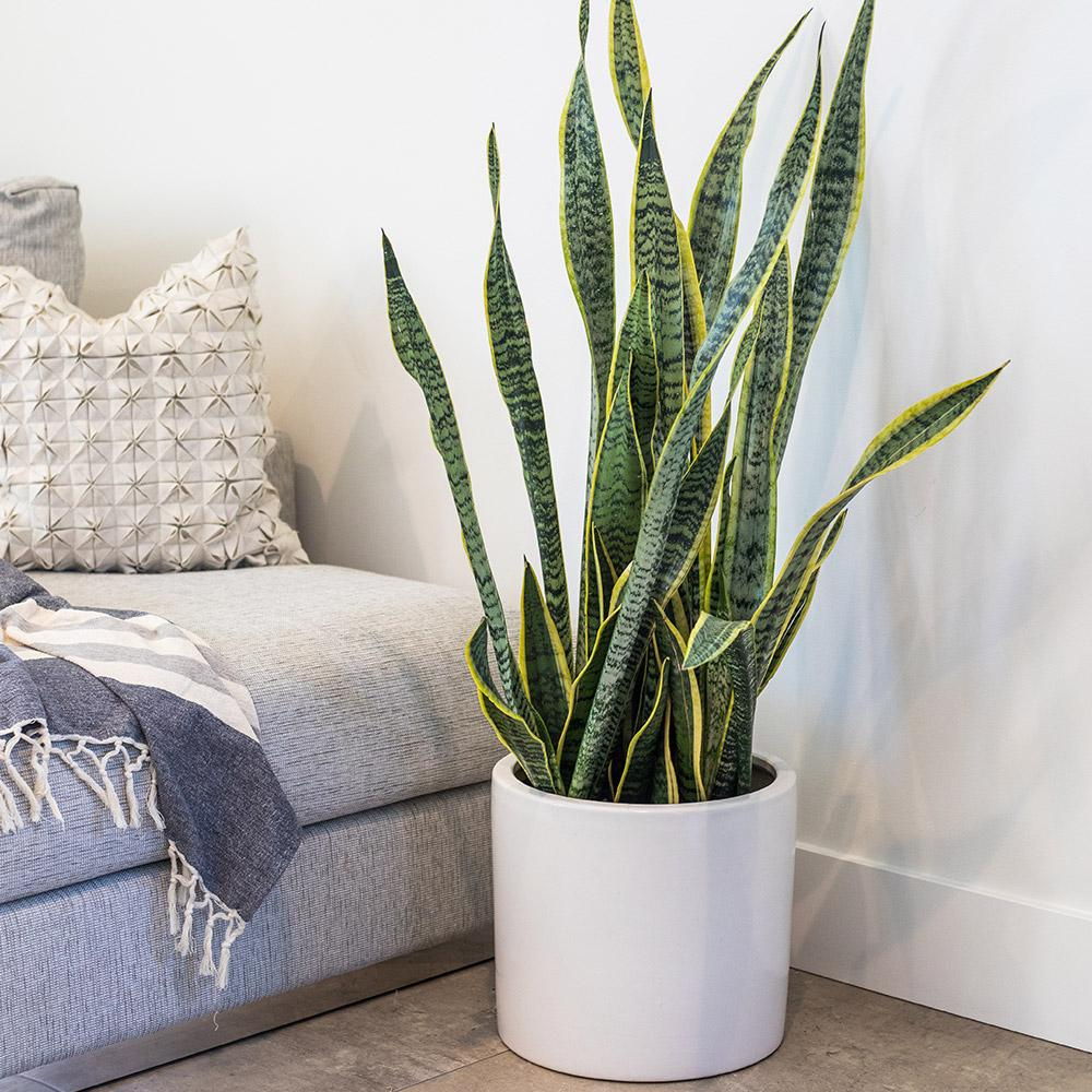 Snake Plant air purifier
